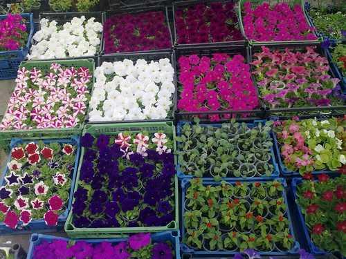 В омске рассада цветов 6